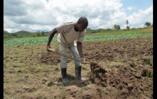 In this file 2018 photo, Jason Wilson, a young farmer in Bog Hole, Clarendon, prepares his land to plant dasheen.